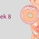 อายุครรภ์ 8 สัปดาห์ ลูกน้อยและคุณแม่เปลี่ยนแปลงอย่างไร