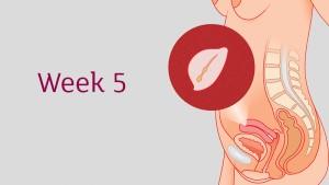 อายุครรภ์ 5สัปดาห์ ลูกน้อยและคุณแม่เปลี่ยนแปลงอย่างไร