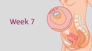 อายุครรภ์ 7 สัปดาห์ ลูกน้อยและคุณแม่เปลี่ยนแปลงอย่างไร
