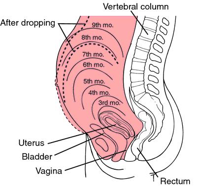 ความสูงของยอดมดลูกกับ ขนาดทารกในครรภ์