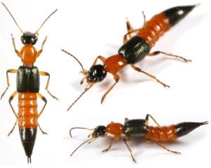 ระวัง!!! พิษร้ายจากแมลงก้นกระดก ระบาดอีกครั้งแล้ว